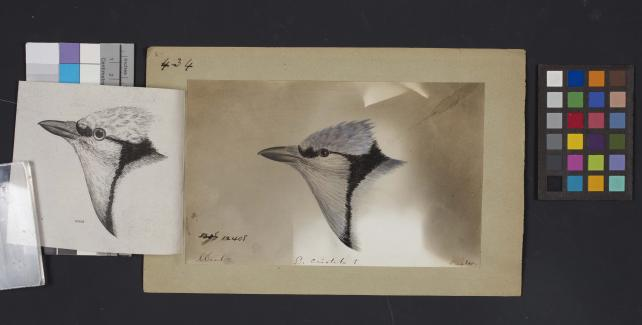 Bird head drawing by Robert Ridgway, Record Unit 7167 - Robert Ridgway Papers, circa 1850s-1919, Smithsonian Institution Archives, Neg. No. SIA2014-00888b.