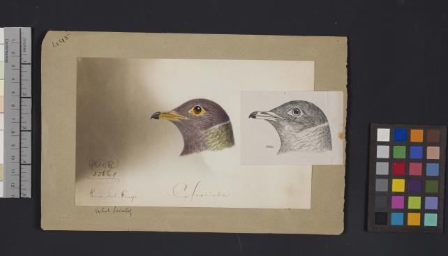 Bird head drawing by Robert Ridgway, Record Unit 7167 - Robert Ridgway Papers, circa 1850s-1919, Smithsonian Institution Archives, Neg. No. SIA2014-00906.