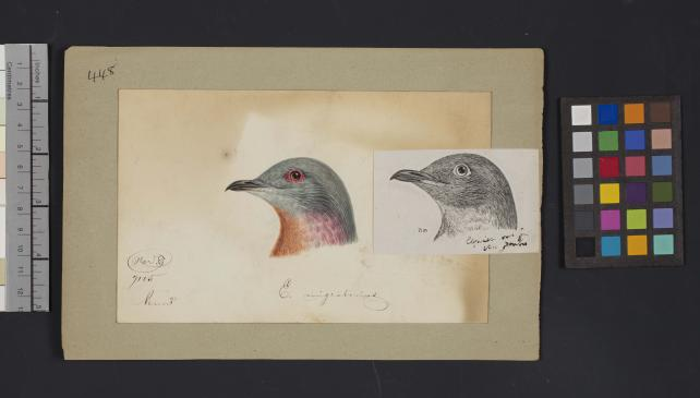 Bird head drawing by Robert Ridgway, Record Unit 7167 - Robert Ridgway Papers, circa 1850s-1919, Smithsonian Institution Archives, Neg. No. SIA2014-00909.