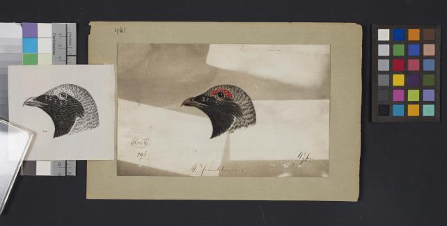 Bird head drawing by Robert Ridgway, Record Unit 7167 - Robert Ridgway Papers, circa 1850s-1919, Smithsonian Institution Archives, Neg. No. SIA2014-00925b.