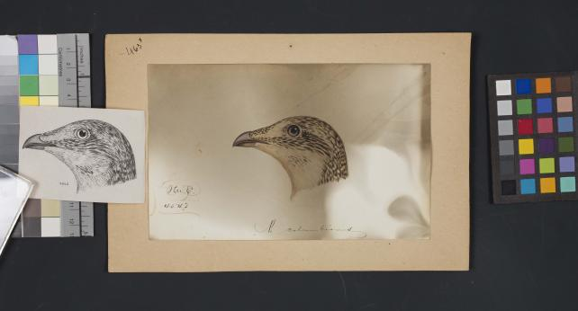 Bird head drawing by Robert Ridgway, Record Unit 7167 - Robert Ridgway Papers, circa 1850s-1919, Smithsonian Institution Archives, Neg. No. SIA2014-00933b.