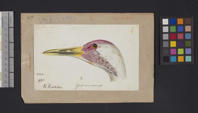 Bird head drawing by Robert Ridgway, Record Unit 7167 - Robert Ridgway Papers, circa 1850s-1919, Smithsonian Institution Archives, Neg. No. SIA2014-00959.
