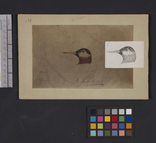Bird head drawing by Robert Ridgway, Record Unit 7167 - Robert Ridgway Papers, circa 1850s-1919, Smithsonian Institution Archives, Neg. No. SIA2014-01011.