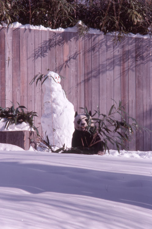 A giant panda with a snowman at the National Zoological Park, 1979.