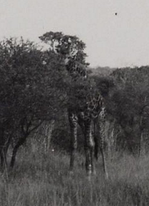 Alexander Wetmore's photos of the African wildlife, 1957.