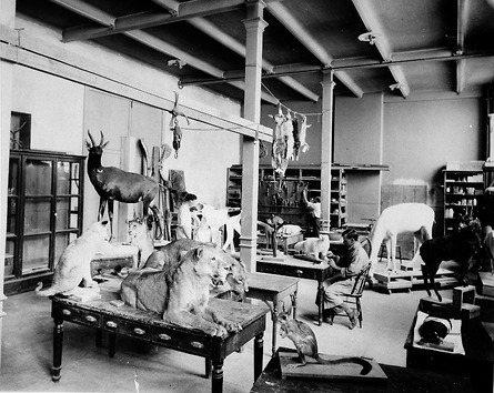 View of a taxidermy shop. Specimens are on top of desks and hanging from the ceiling, and a man is s