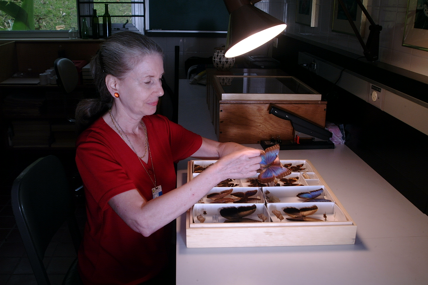 A more recent photograph of Aiello handling butterfly specimens at a desk.