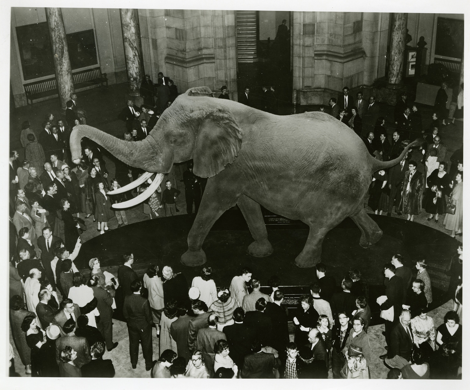 View of the Fénykövi elephant from the balcony of the United States National Museum's Natural History Building. Smithsonian Institution Archives, Accession 00-082, Box 1, Folder 2.