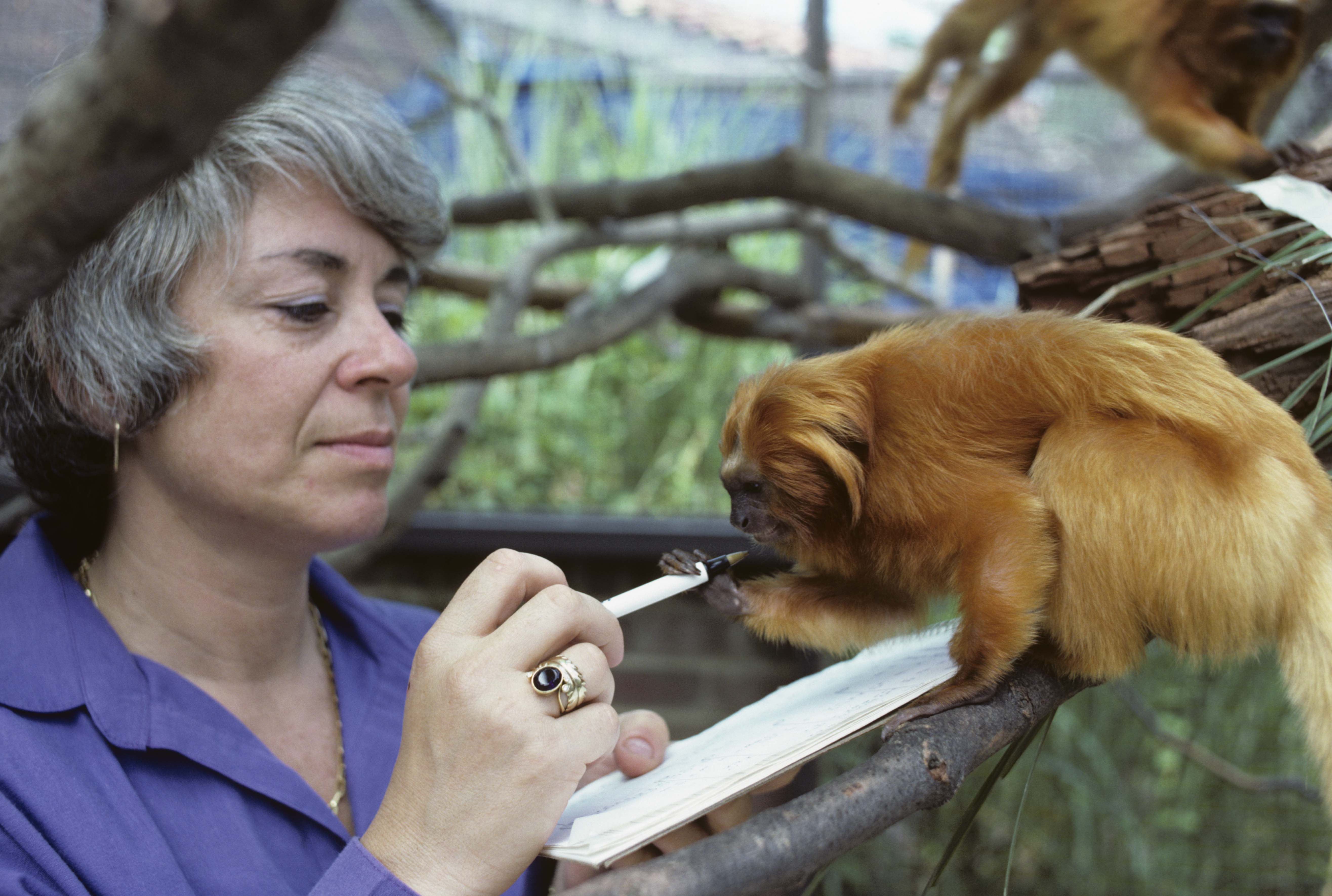 Dr. Devra Kleiman points a pen toward a golden lion tamarin perched on a branch.