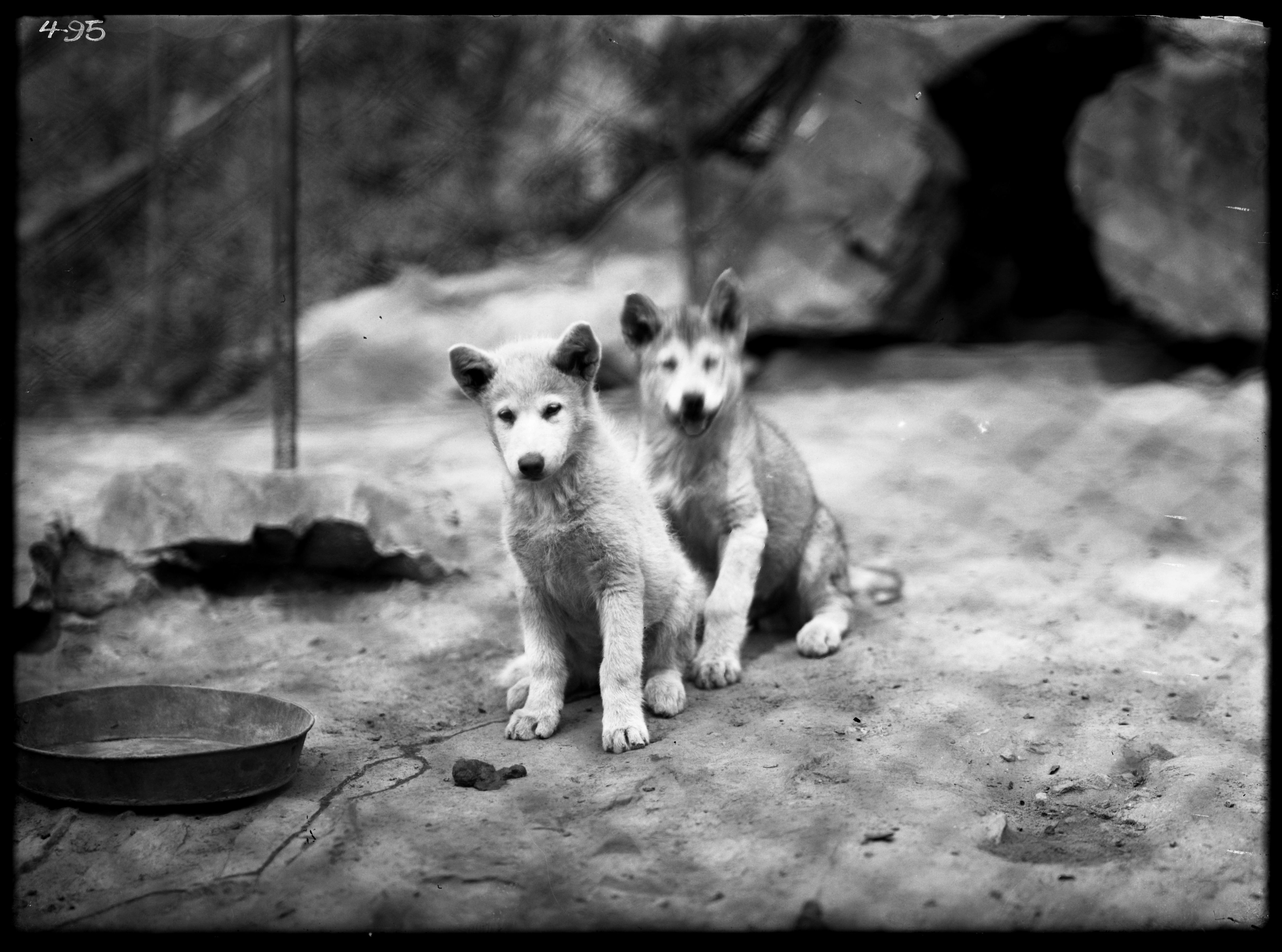 Black and white image of young dogs sitting.
