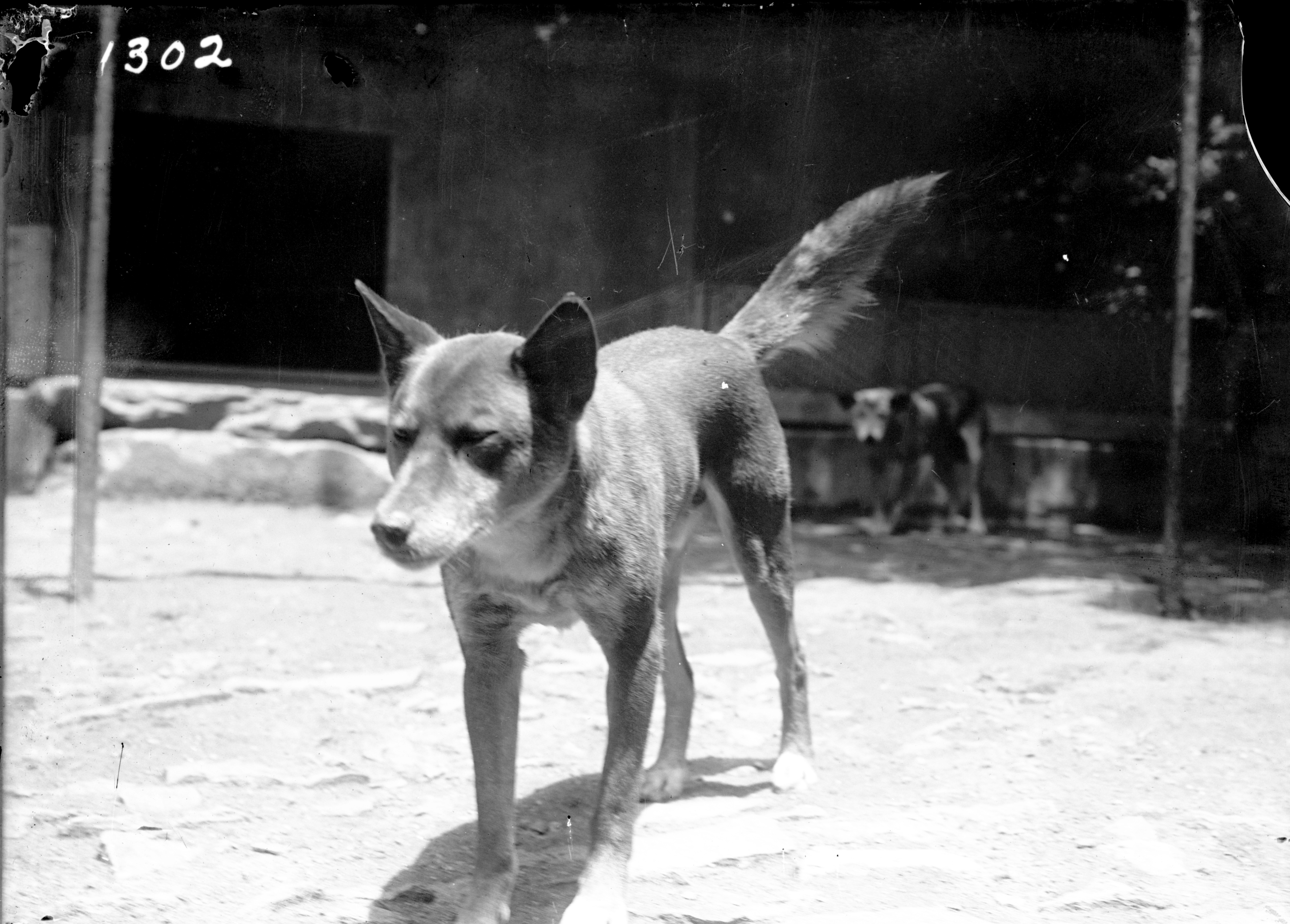 Black and white image of dog standing.