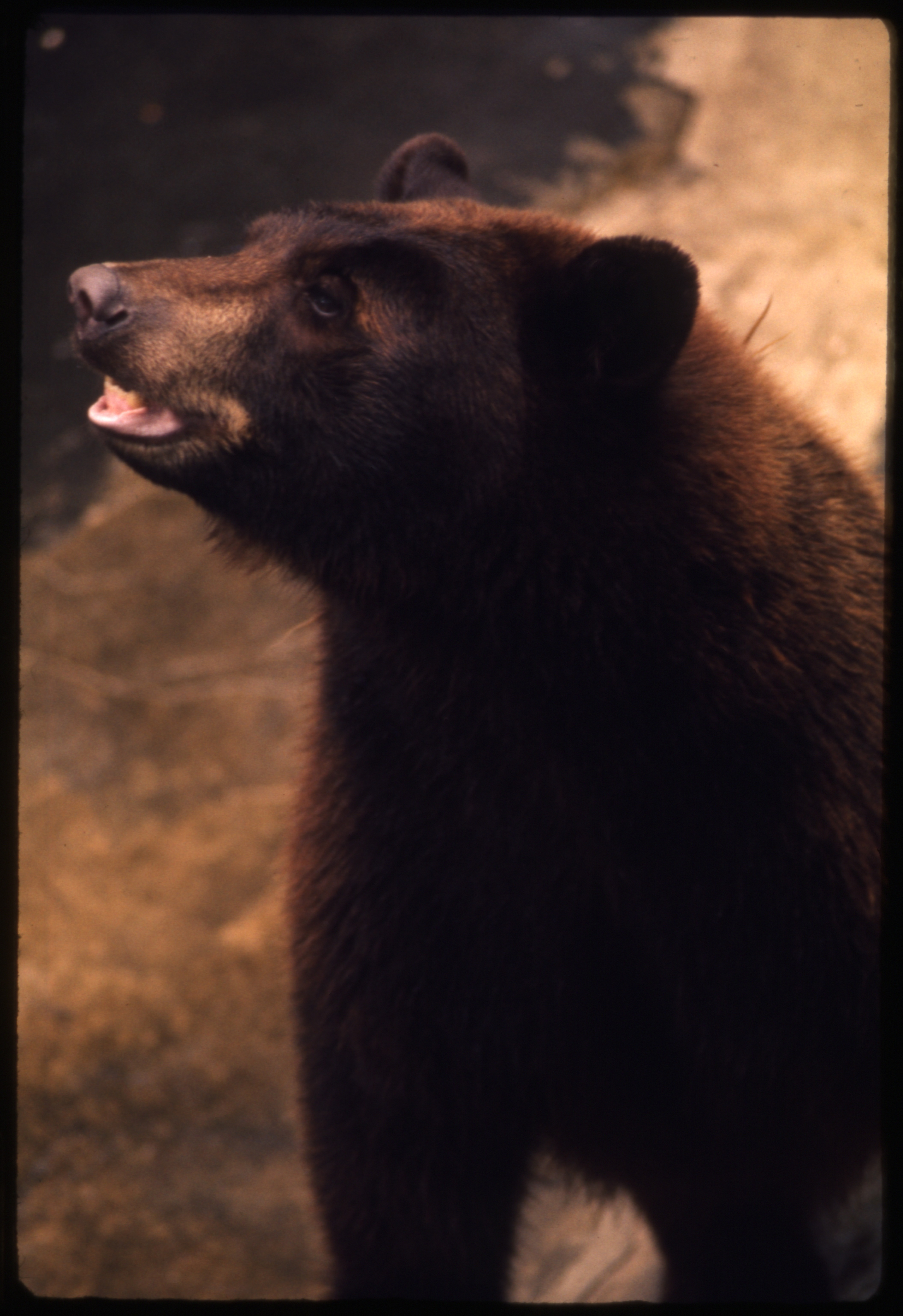 Close up image of a small bear.