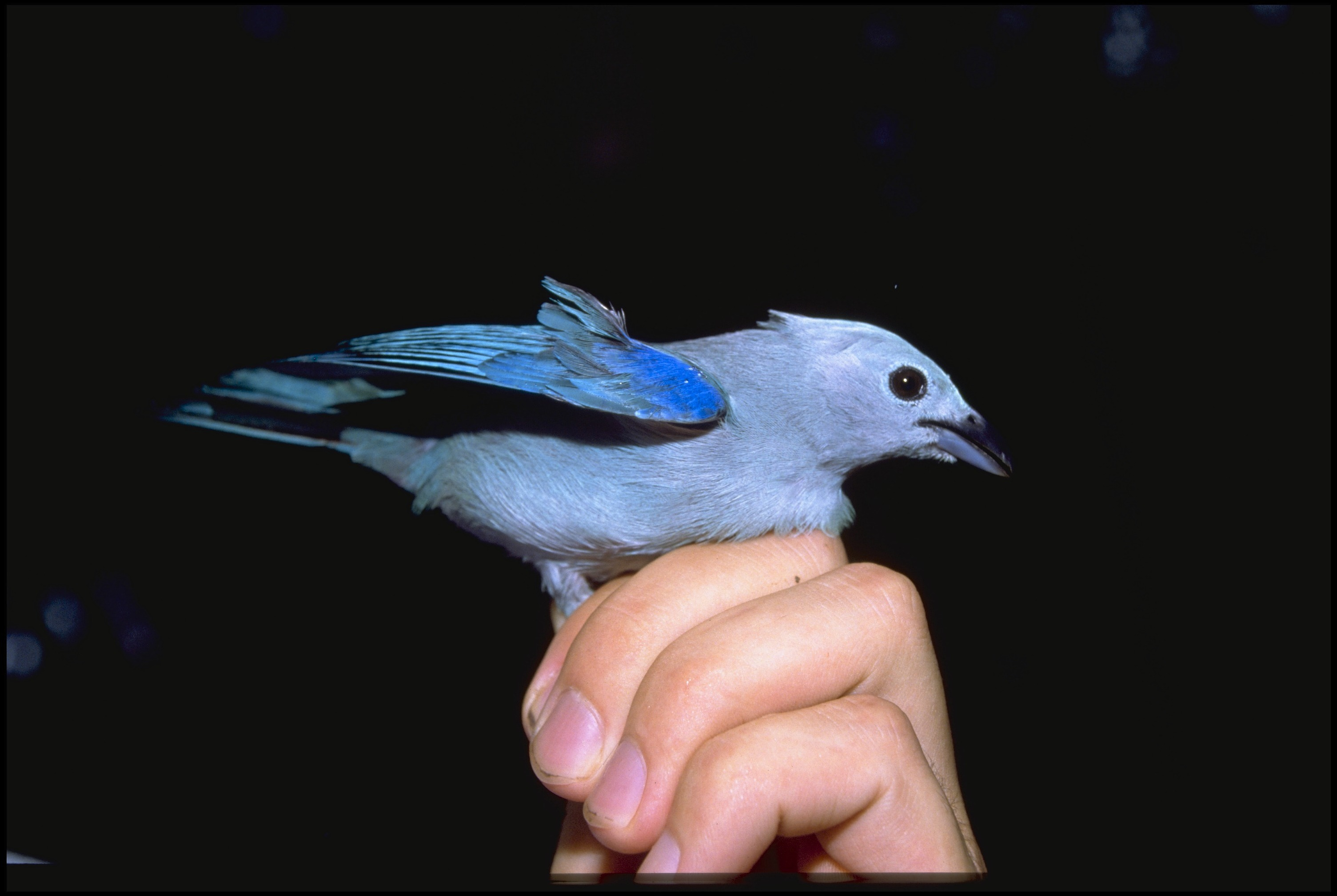 A hand holds the legs of a beautiful blue bird in order to capture a photo.