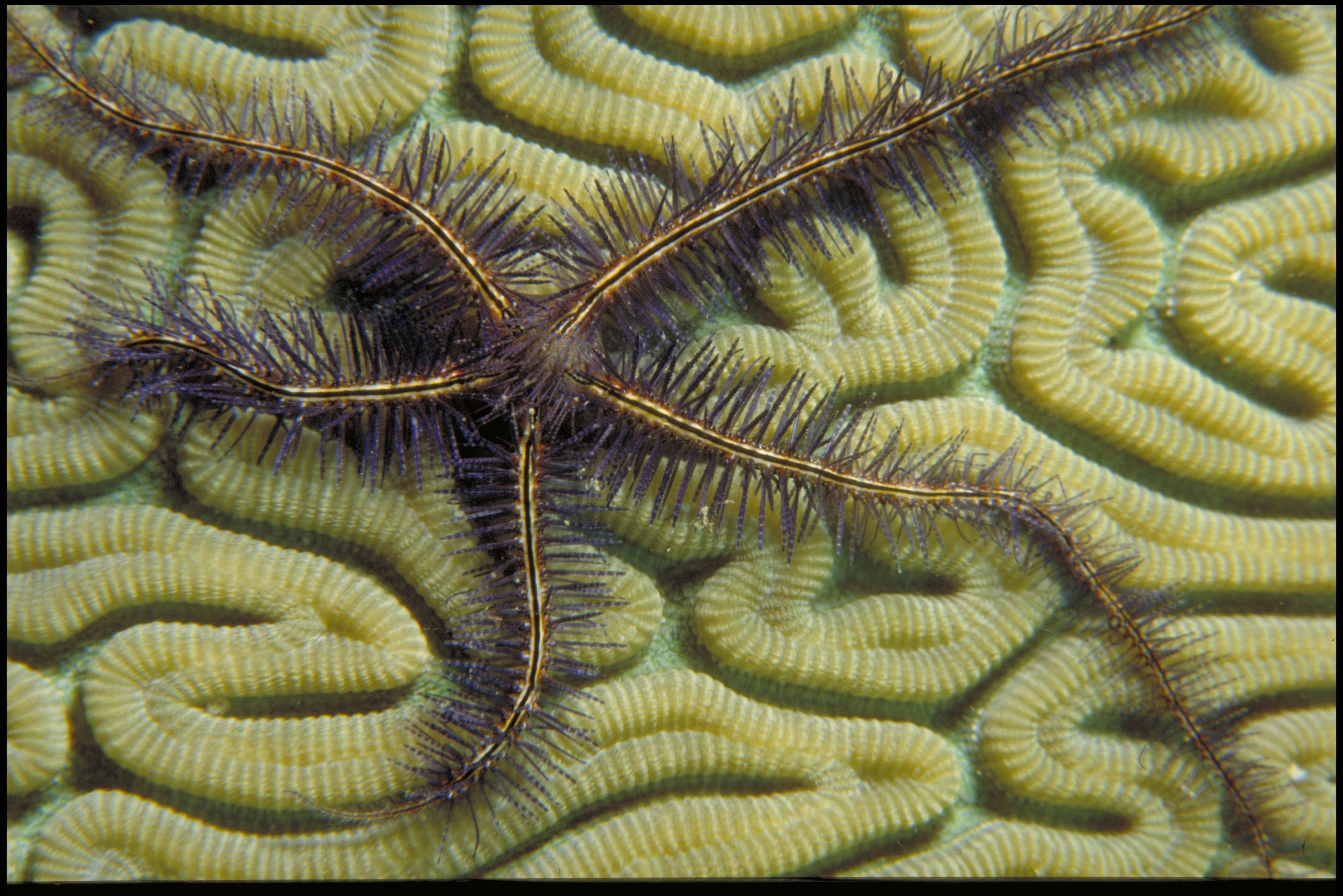 """A star-fish looking specimen with five points. Spike appear to be coming out of each """"limb"""". Yellow"""