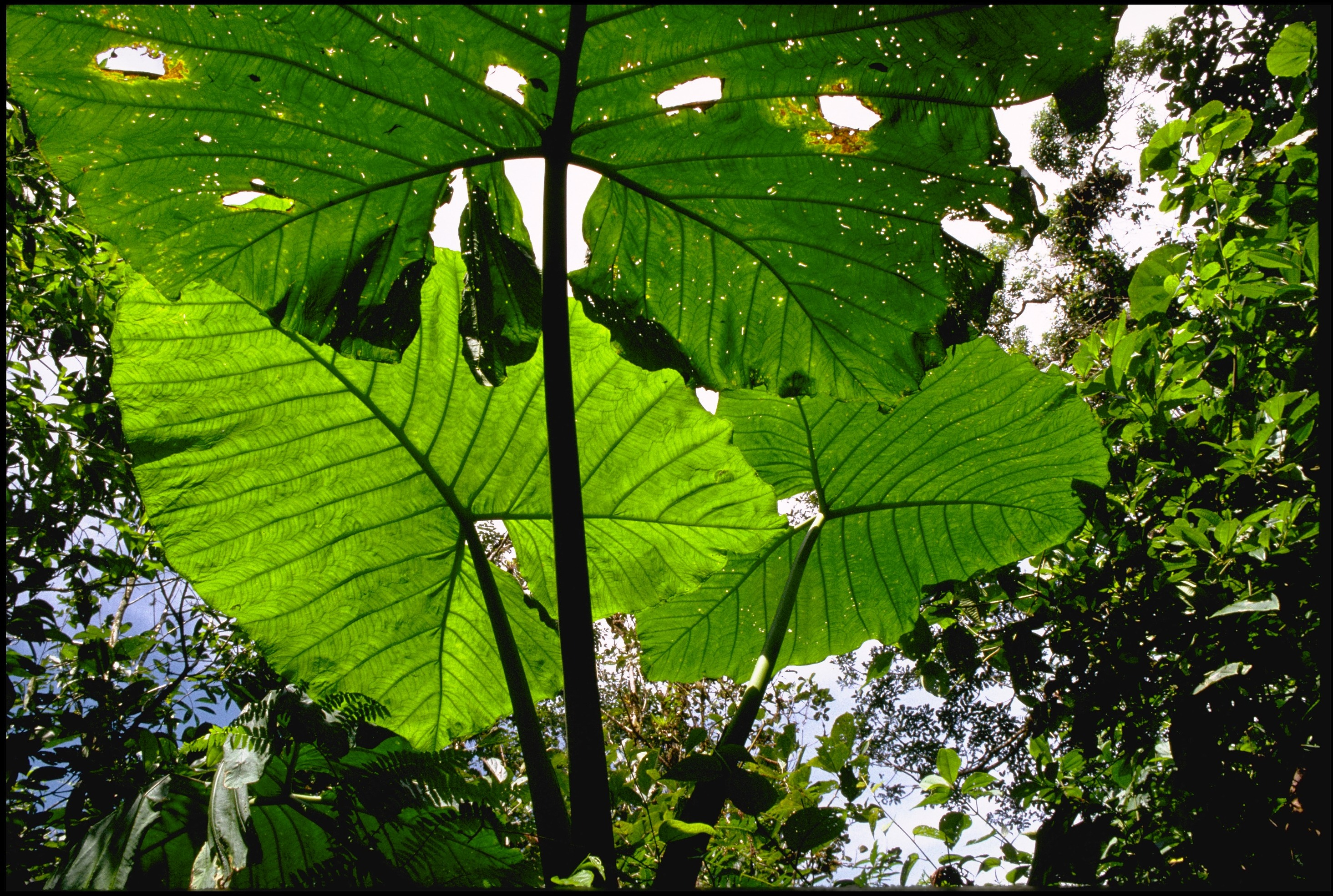 Light comes through three large, green leaves. Trees are visible in the background.