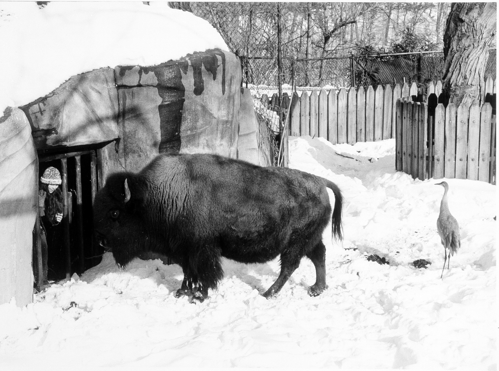 A National Zoo keeper feeding a bison after a snow storm, 1987.