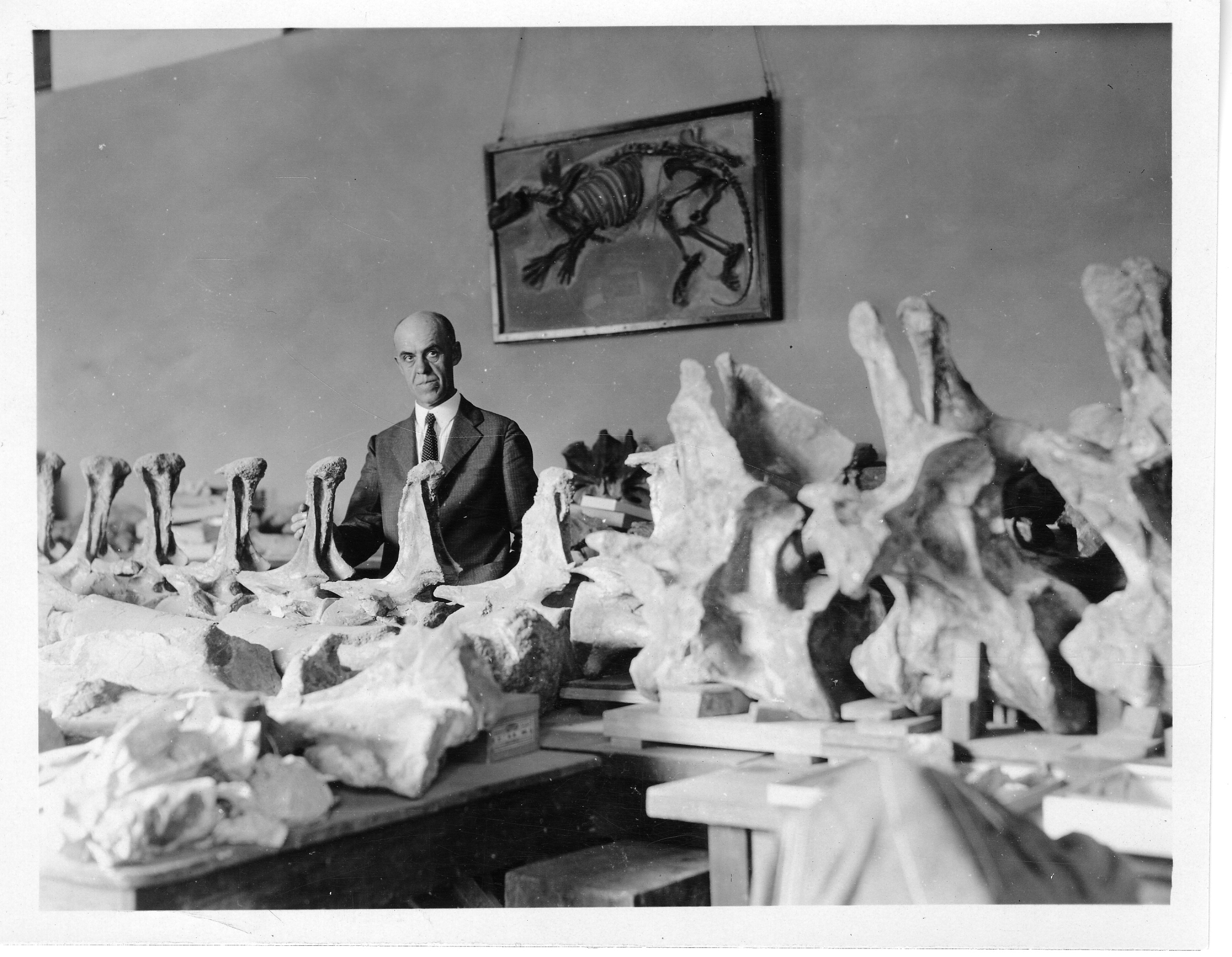 Charles Whitney Gilmore, curator of the Division of Vertebrate Paleontology, with the vertebrae of a