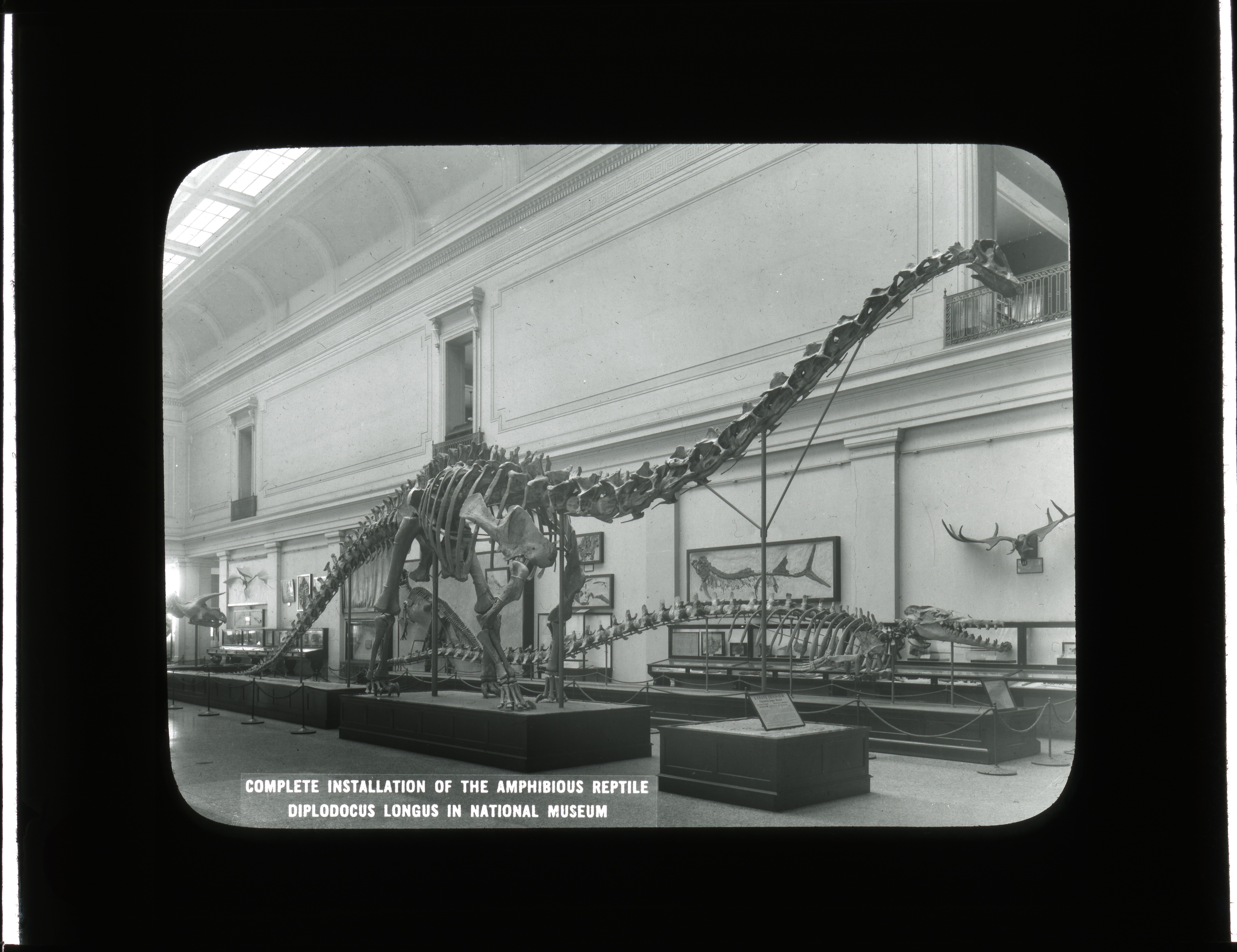 "Slide of a dinosaur skeleton with a long neck standing on a base. The room is also filled with other bones, mounts, and cases. The image is labeled ""Complete Installation of the Amphibious Reptile Diplodocus Longus in National Museum"