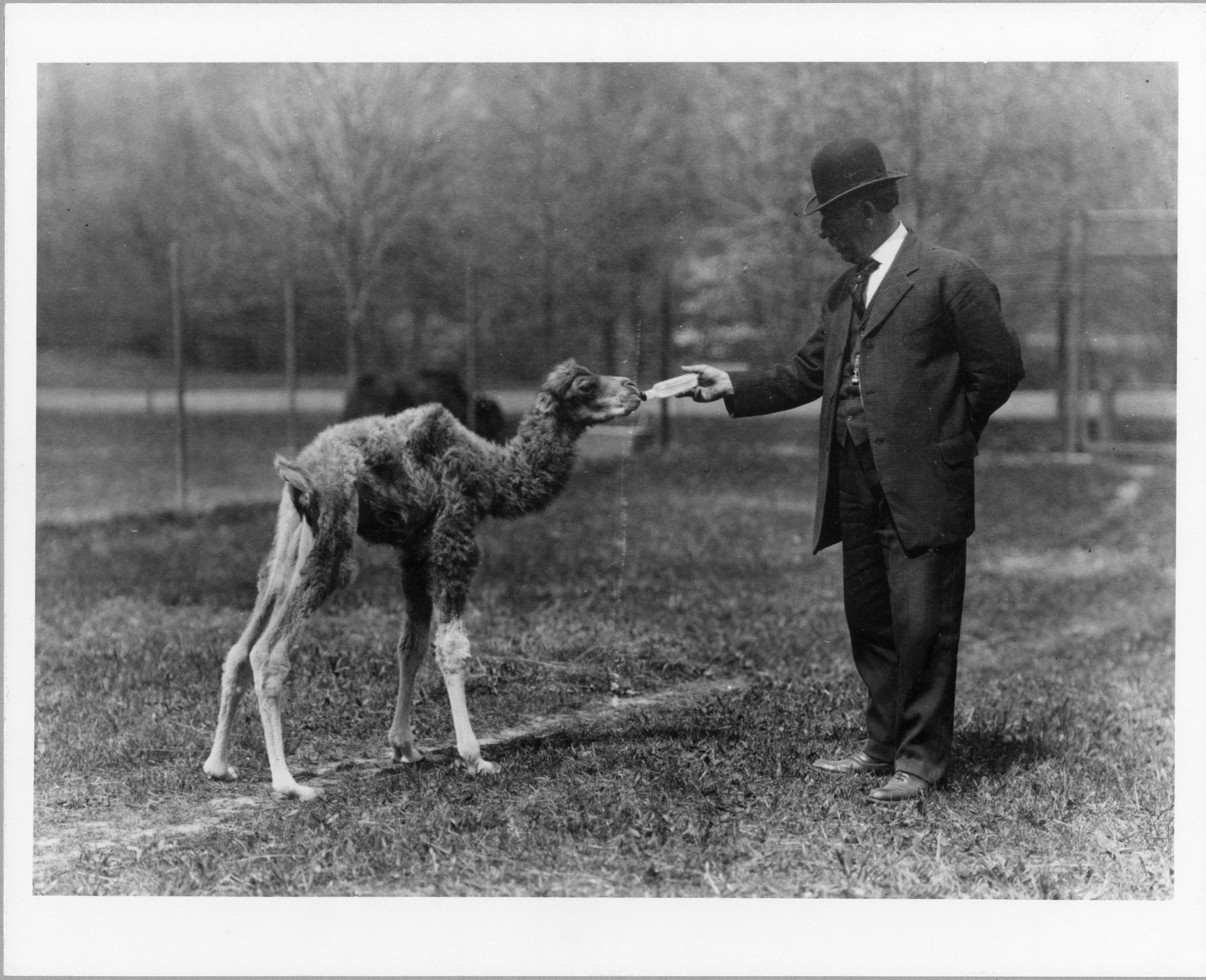 A man in a suit and hat holds a bottle up to the mouth of a camel in a field.