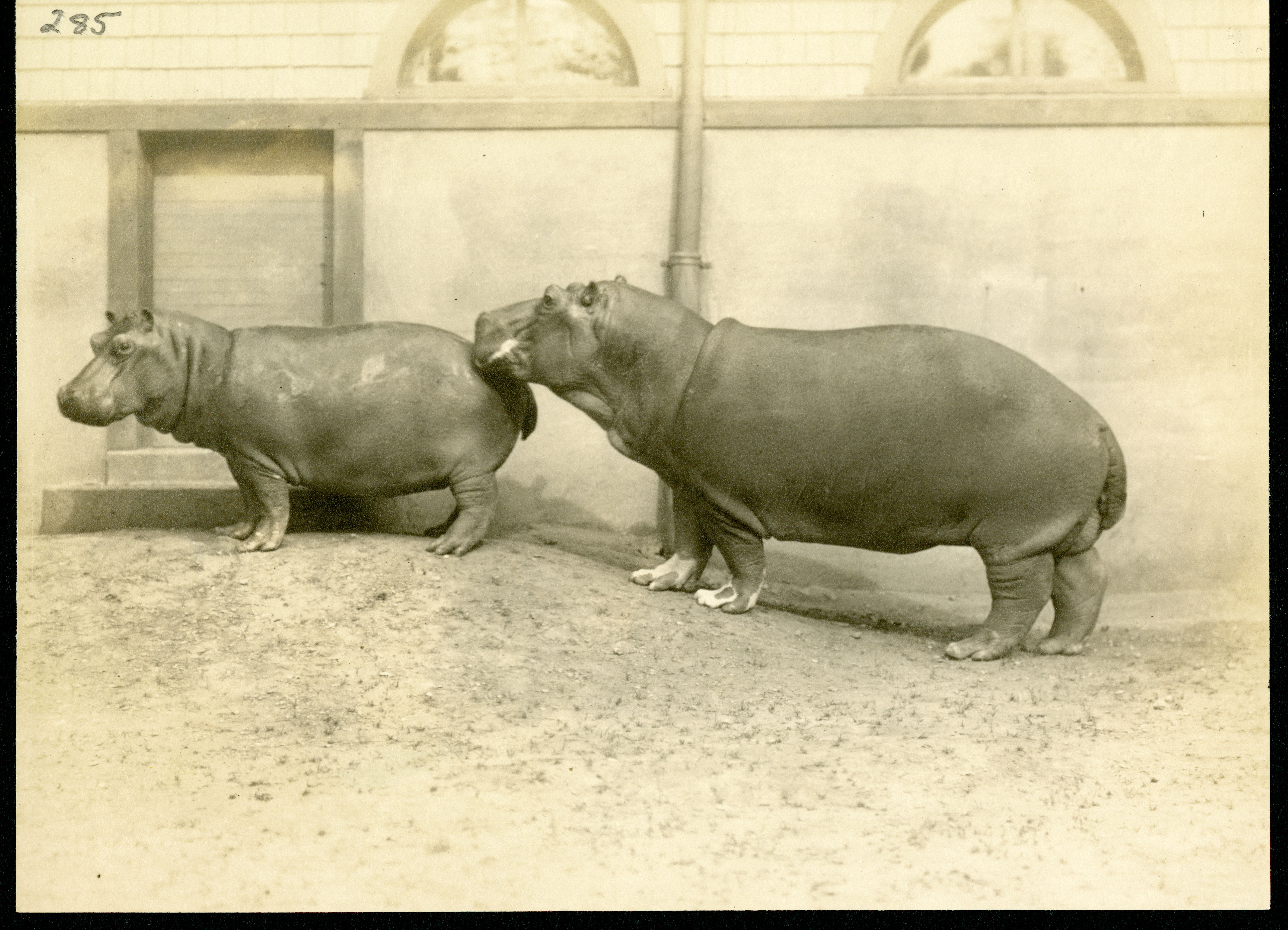 Image of two hippos. The smaller hippo is in the front.