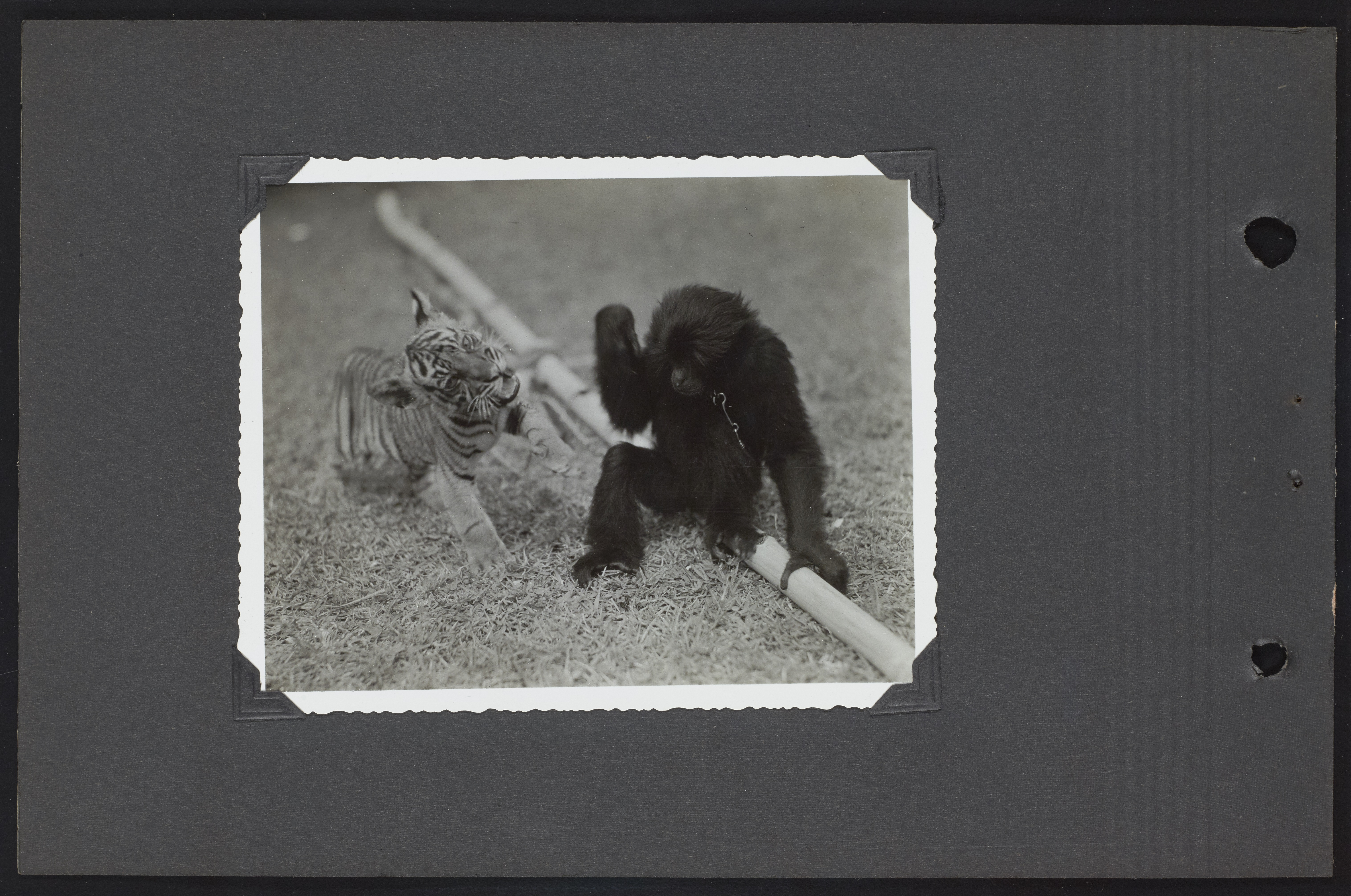 A photo of a monkey and a tiger, taken on the National Geographic Society-Smithsonian Institution Expedition to the Dutch East Indies, 1937.