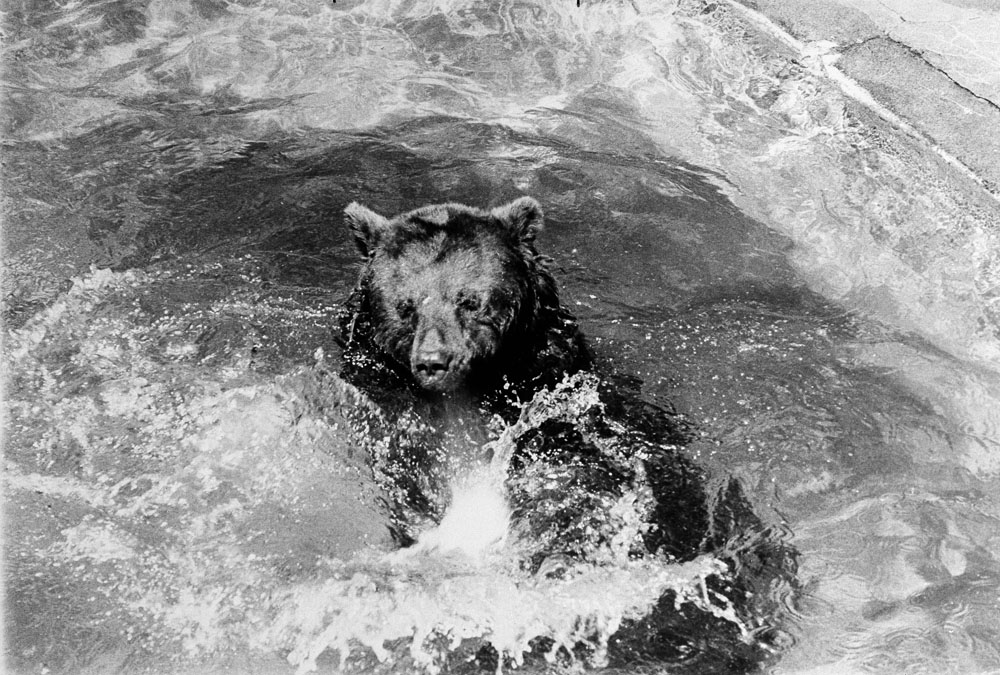 The original Smokey Bear frolicking in a pool at the National Zoological Park.  Smithsonian Institution Archives, Record Unit 371, Box 2, Folder December 1976.