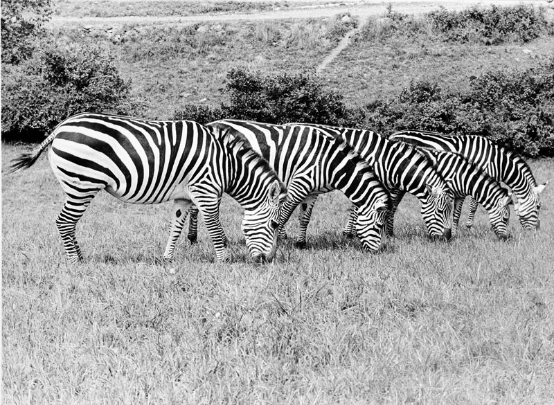 Zebras Jill, Sheba, Flo, Susana and Shirley graze in a pasture at the National Zoological Park's Conservation and Research Center in Front Royal, Virginia. Smithsonian Institution Archives Record Unit 371, Box 3, Folder November 1979.