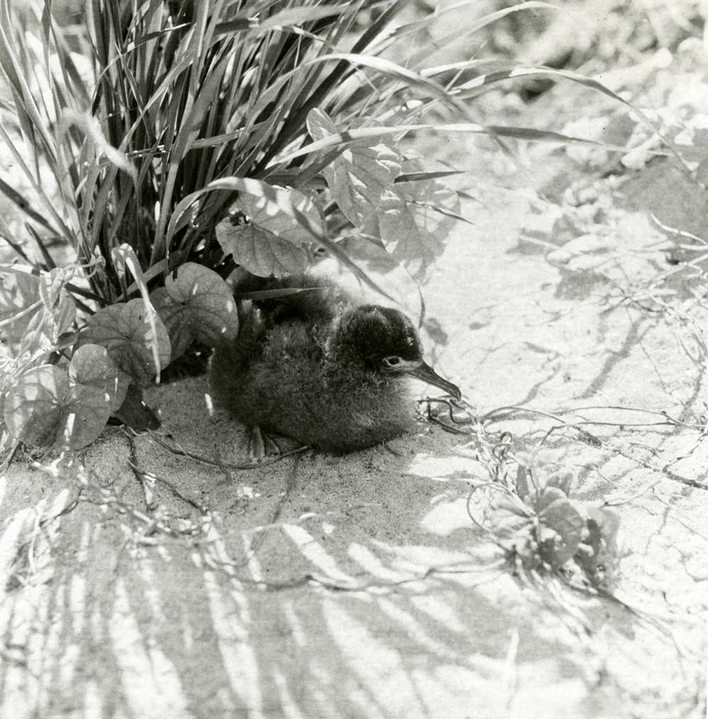 Black & white photo of chick sitting in the sand.