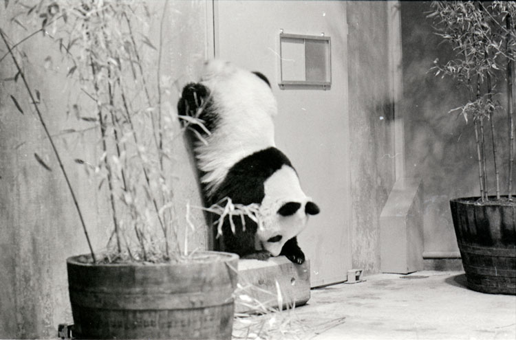 Giant panda at National Zoo.