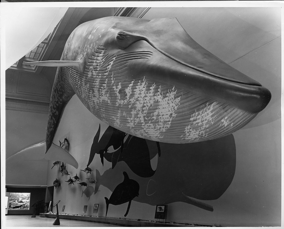 "Blue Whale in the ""Life in the Sea Exhibit,"" National Museum of Natural History, 1963."