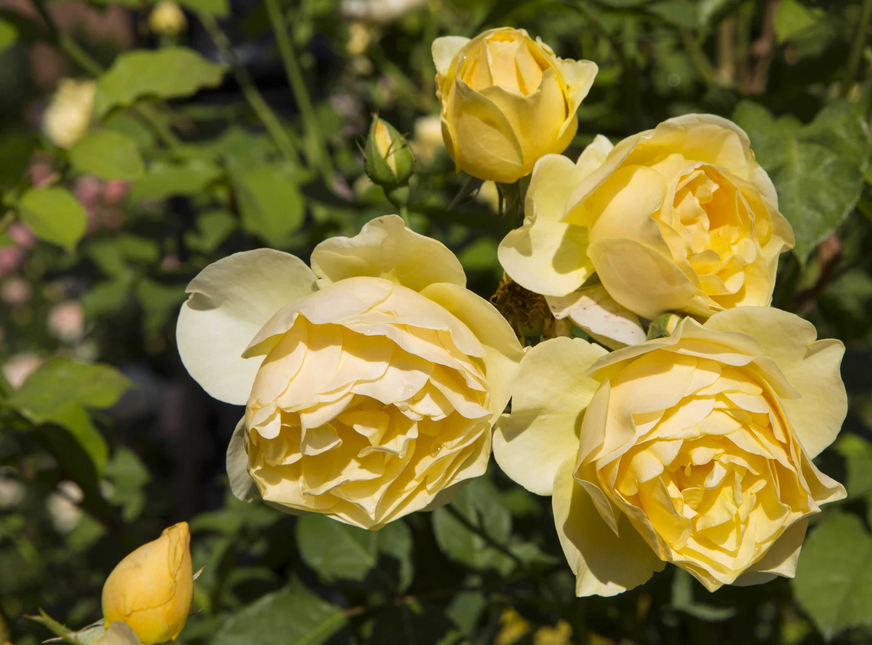 Kathrine Dulin Folger Rose Garden, 2015, by Michael Barnes.