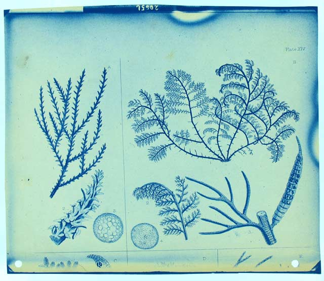 Photograph of Page from Book showing botanical specimens, c. 1890, by Thomas Smillie, SIA RU000095 [20056].