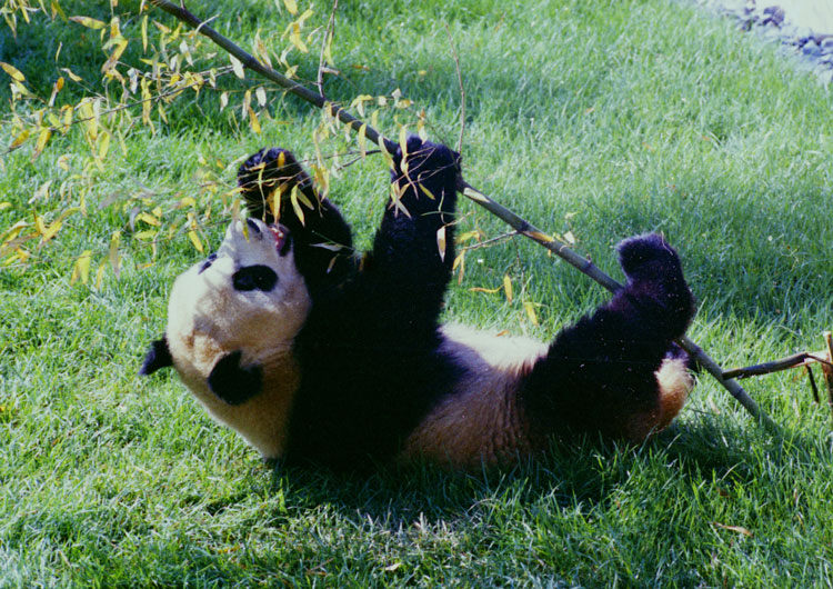 Giant Panda Ling-Ling at National Zoo.