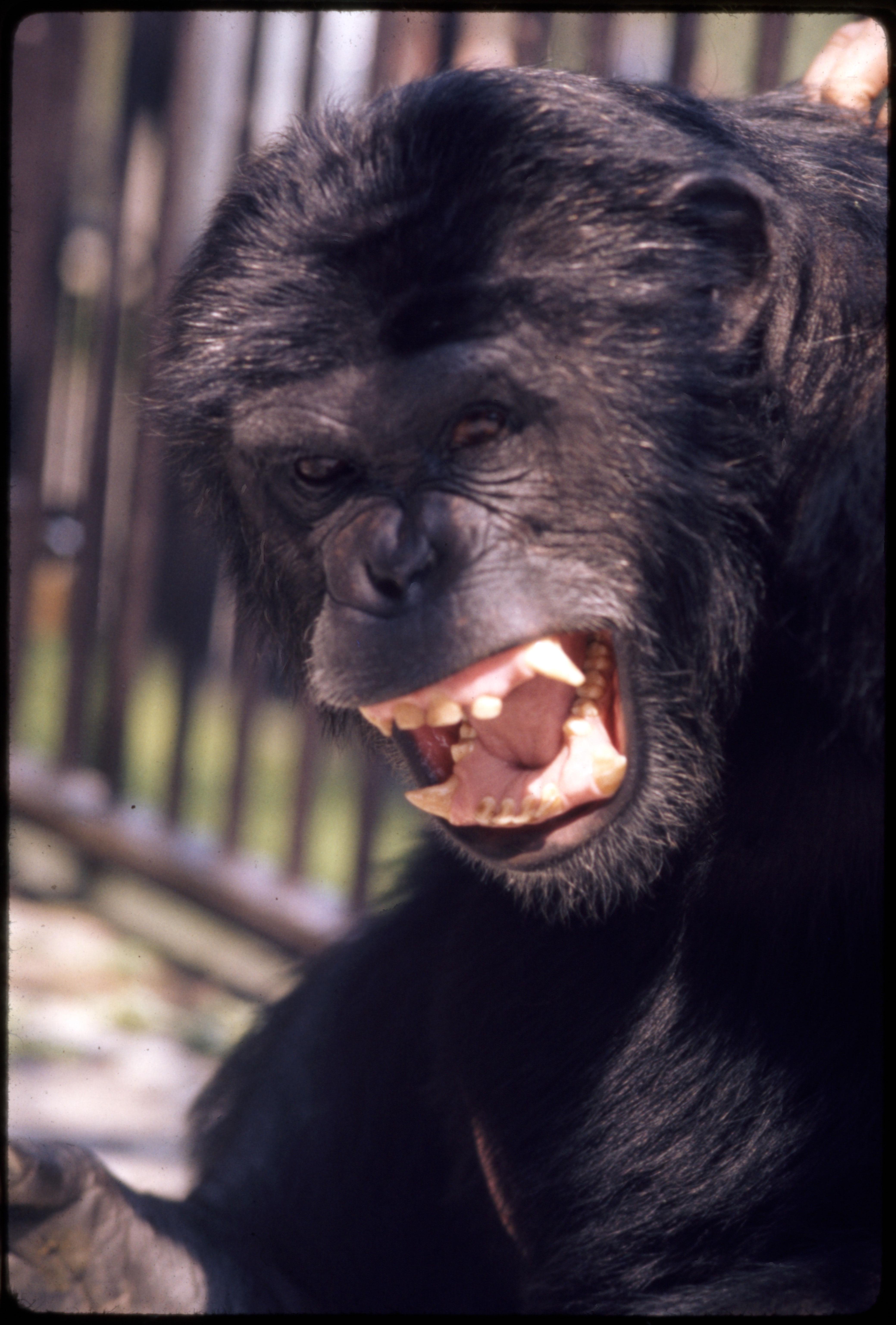 "Chimpanzee ""Ham"" at National Zoological Park"