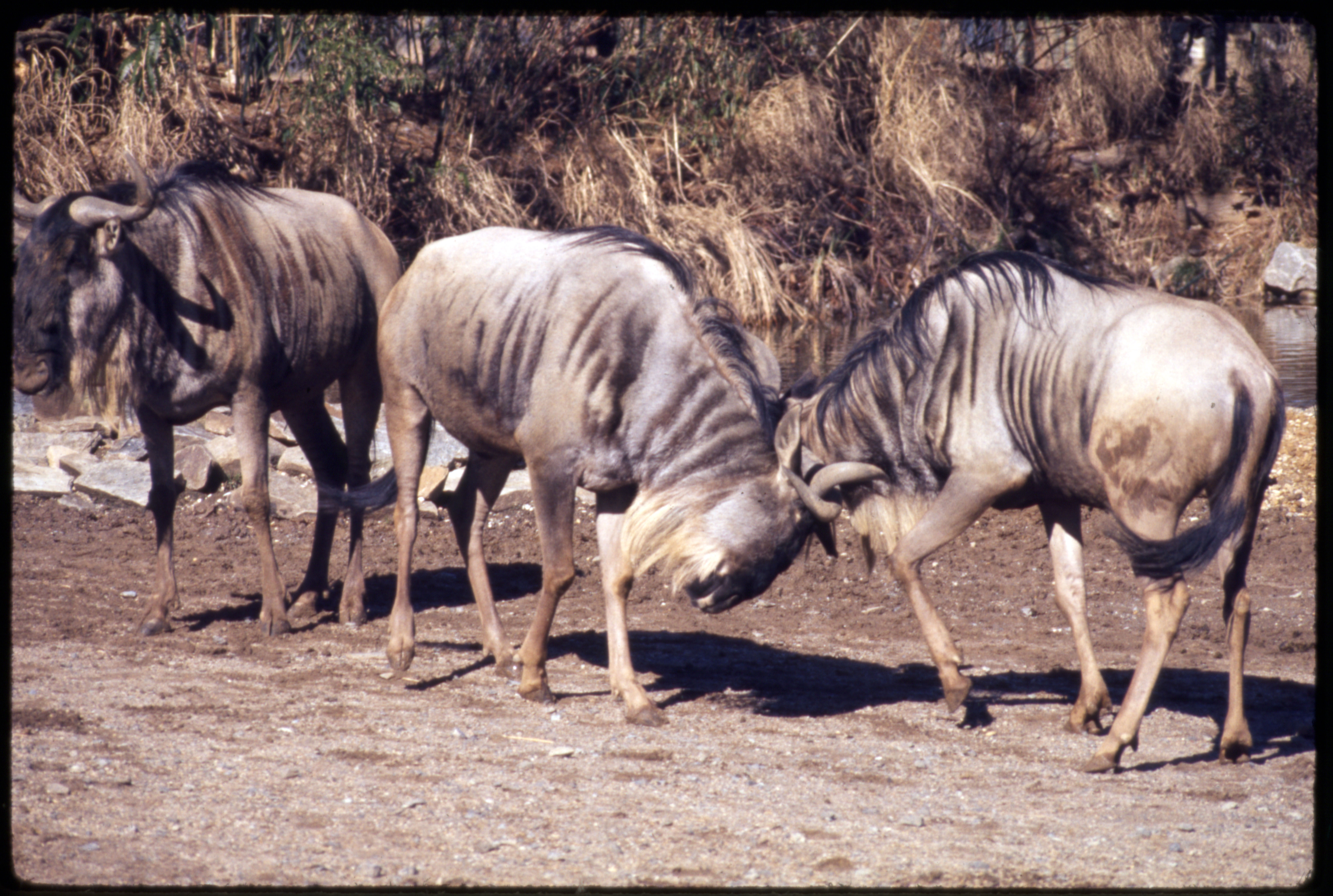 White-Bearded Gnus, or Blue Wildebeests, at National Zoological Park