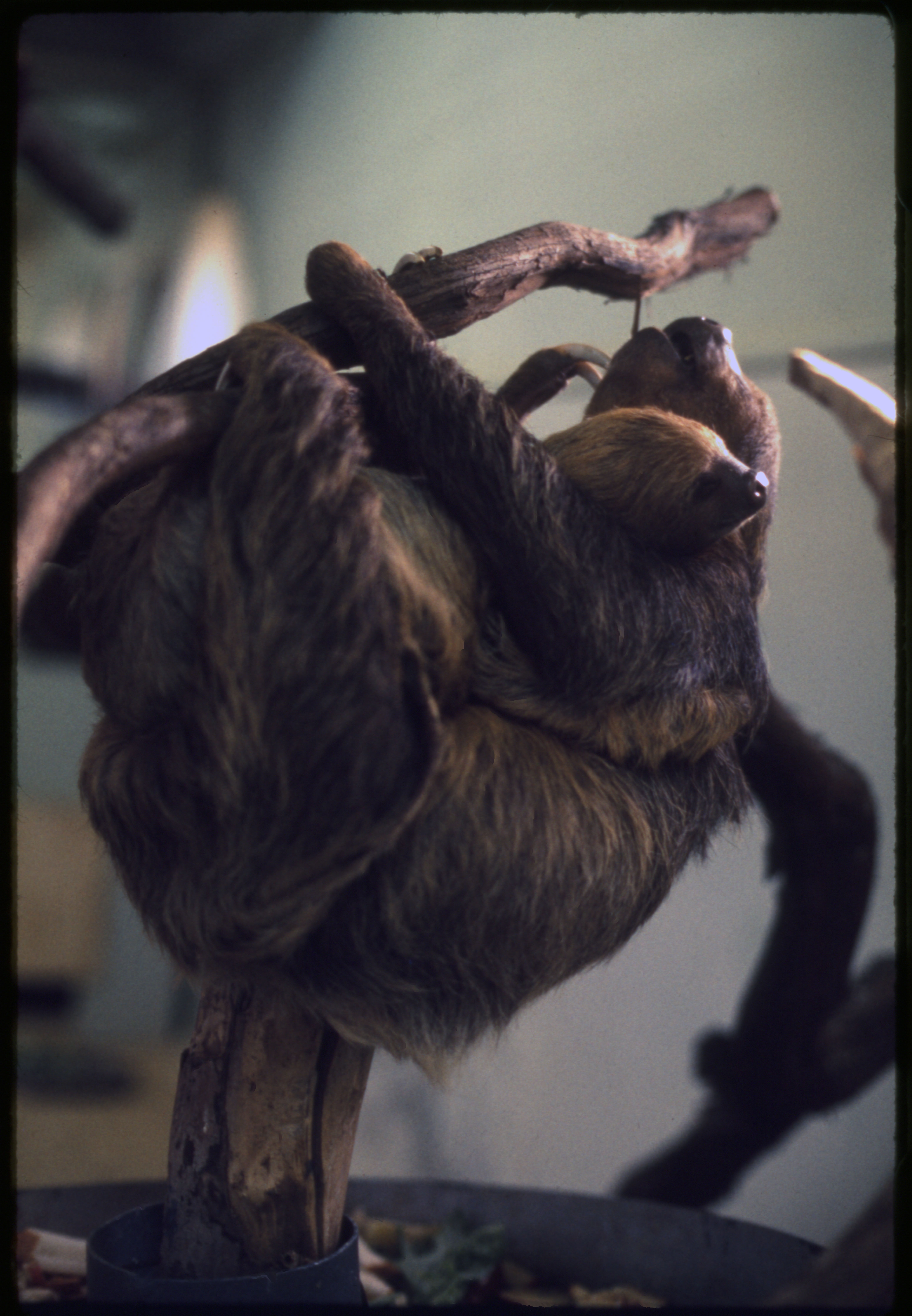 Two-Toed Sloths at National Zoological Park