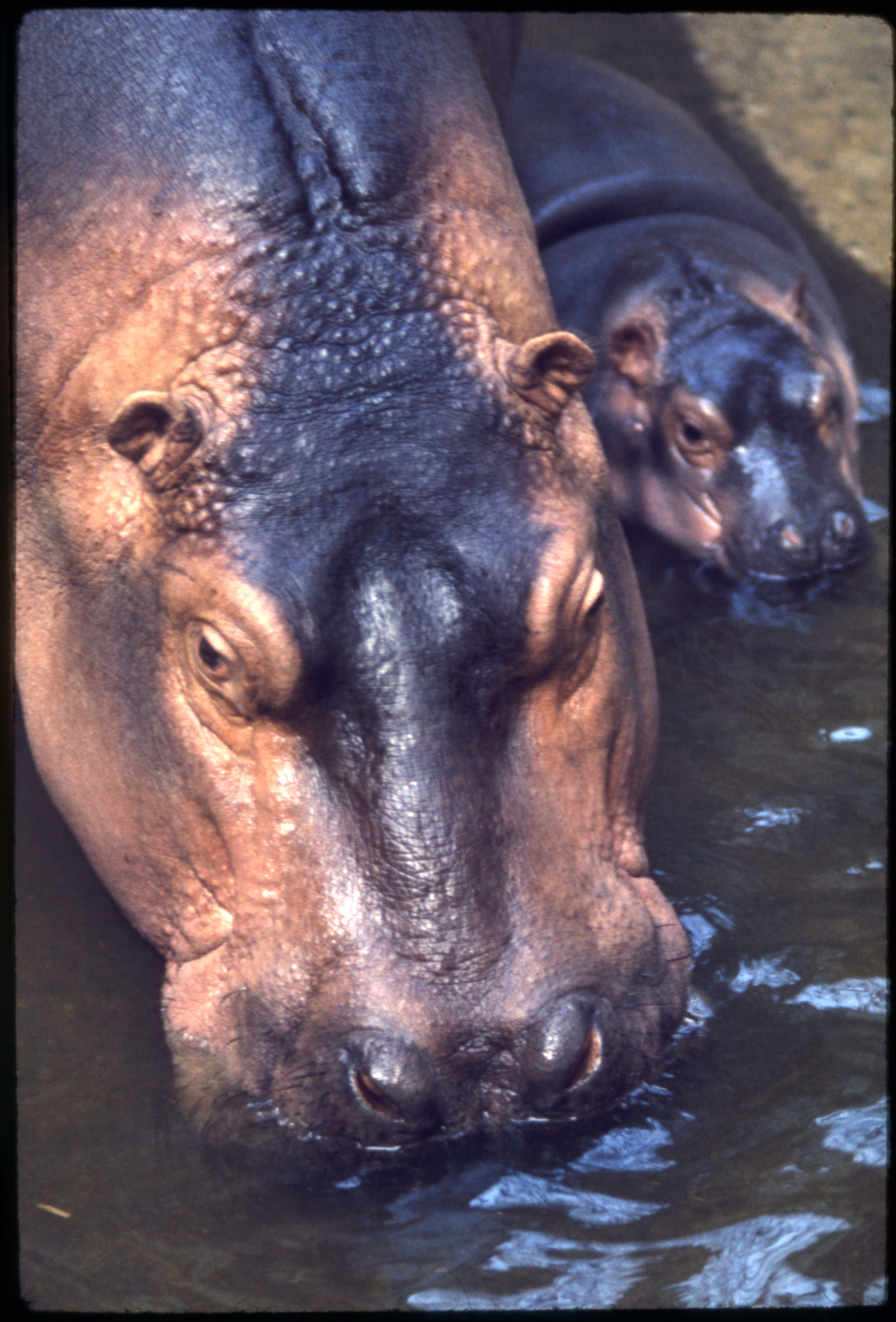 Nile Hippopotamus and Baby at National Zoological Park