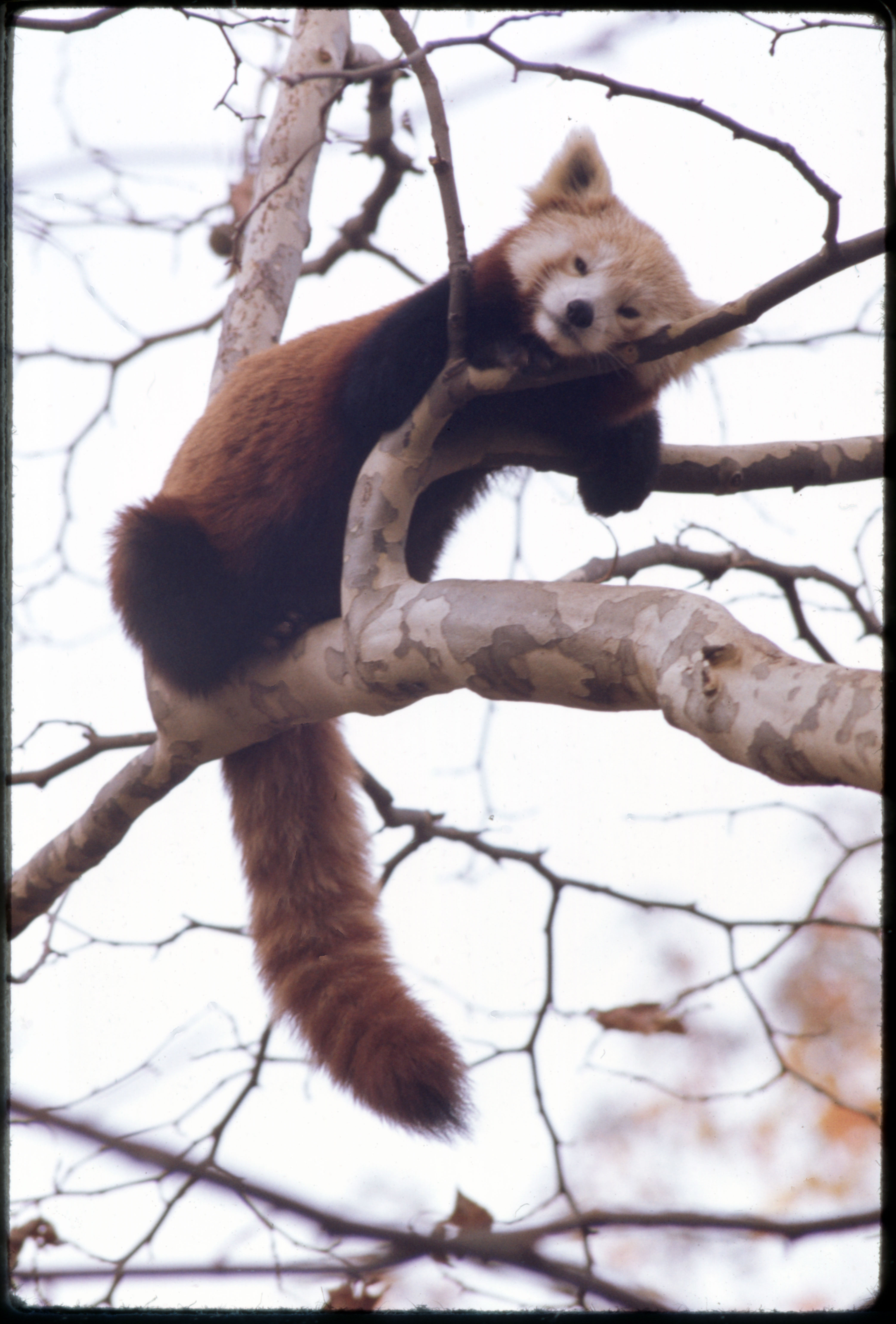 Red Panda, or Lesser Panda, at National Zoological Park
