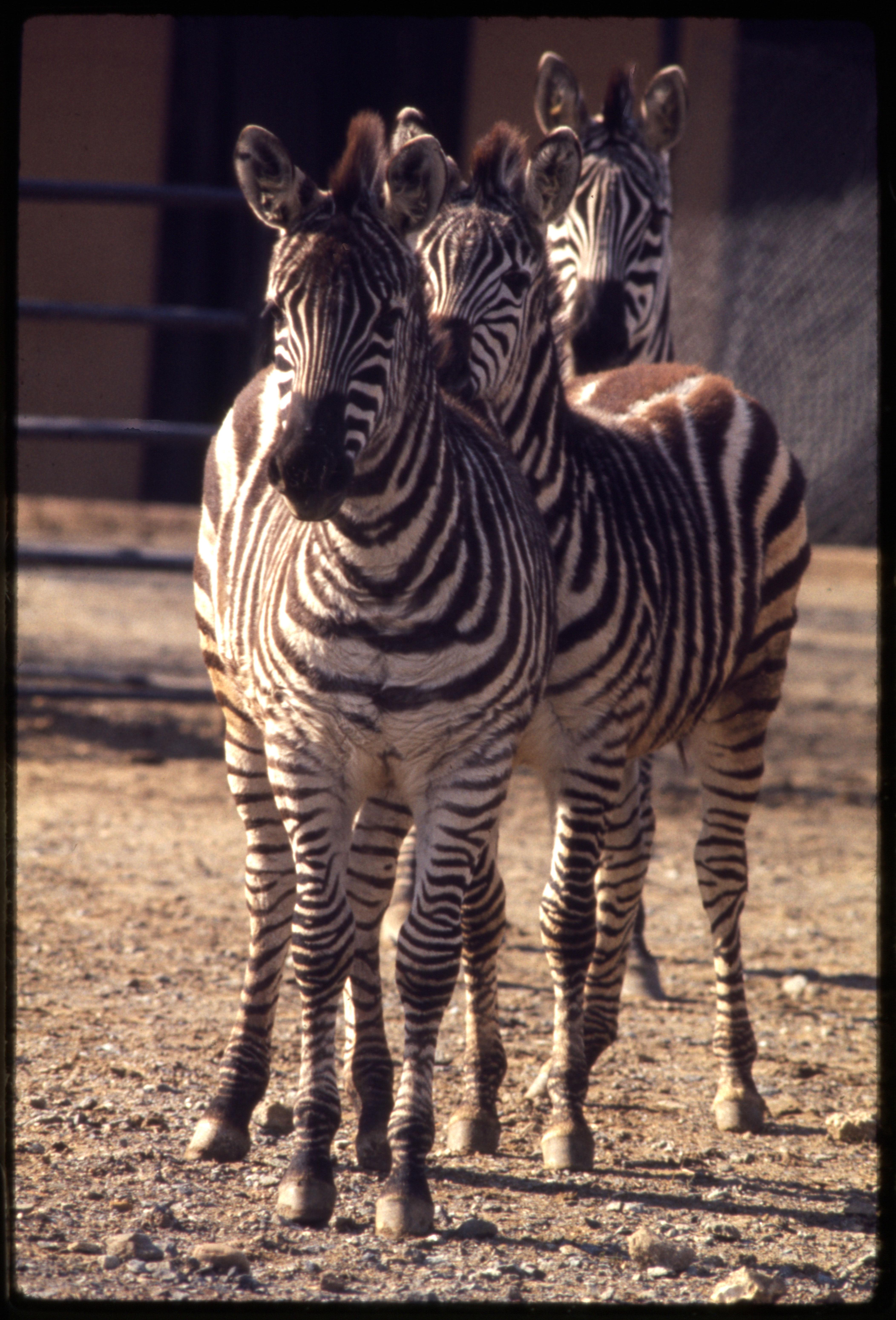 Grant's Zebras at National Zoological Park