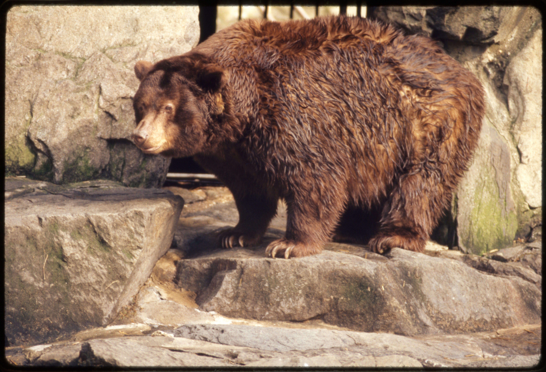 "American Black Bear ""Smokey Bear"" at National Zoological Park"