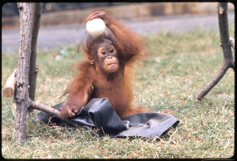 Young Orangutan at National Zoological Park