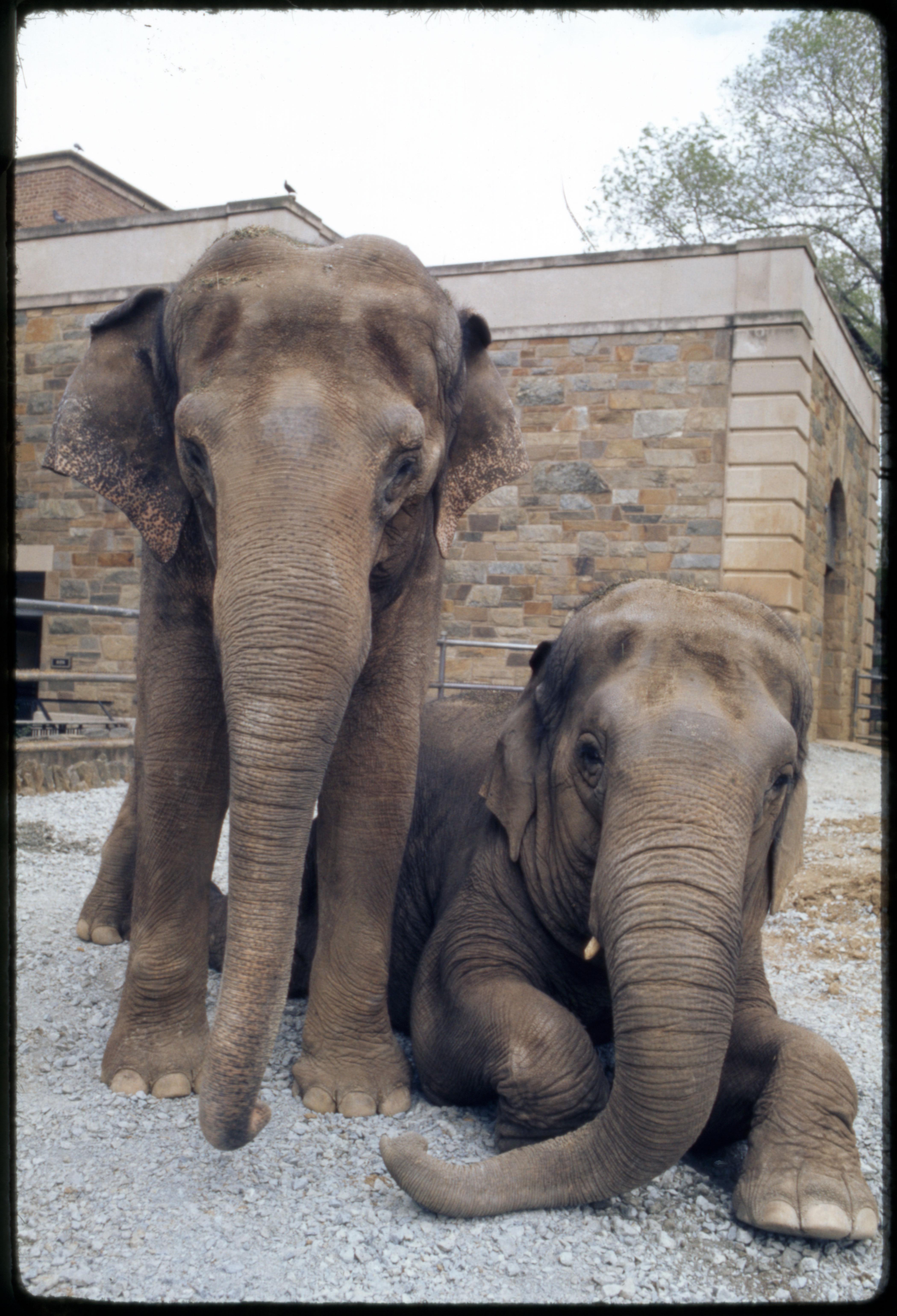 "Indian Elephants ""Ambika"" and ""Shanti"" at National Zoological Park"