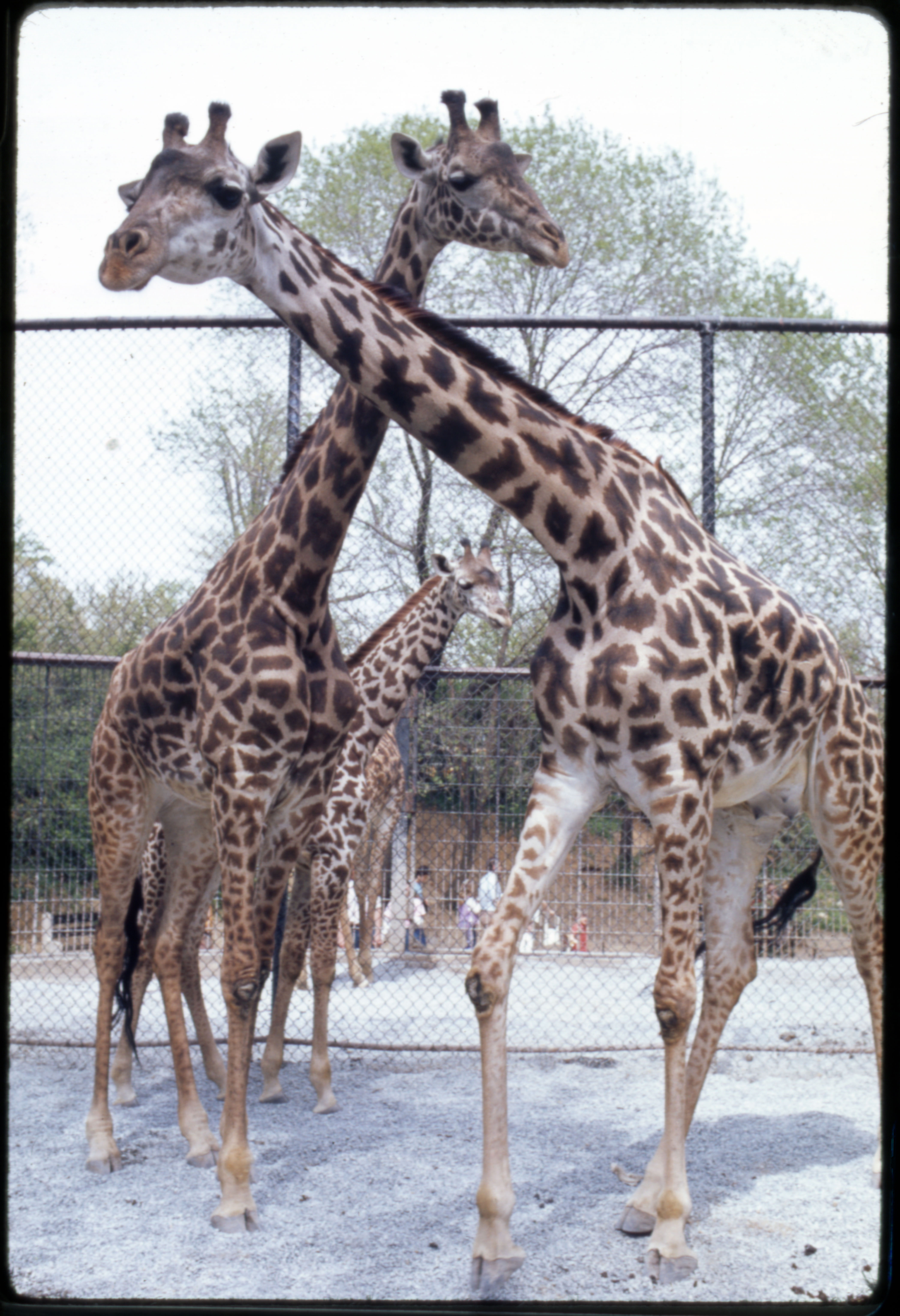 Masai Giraffes at National Zoological Park