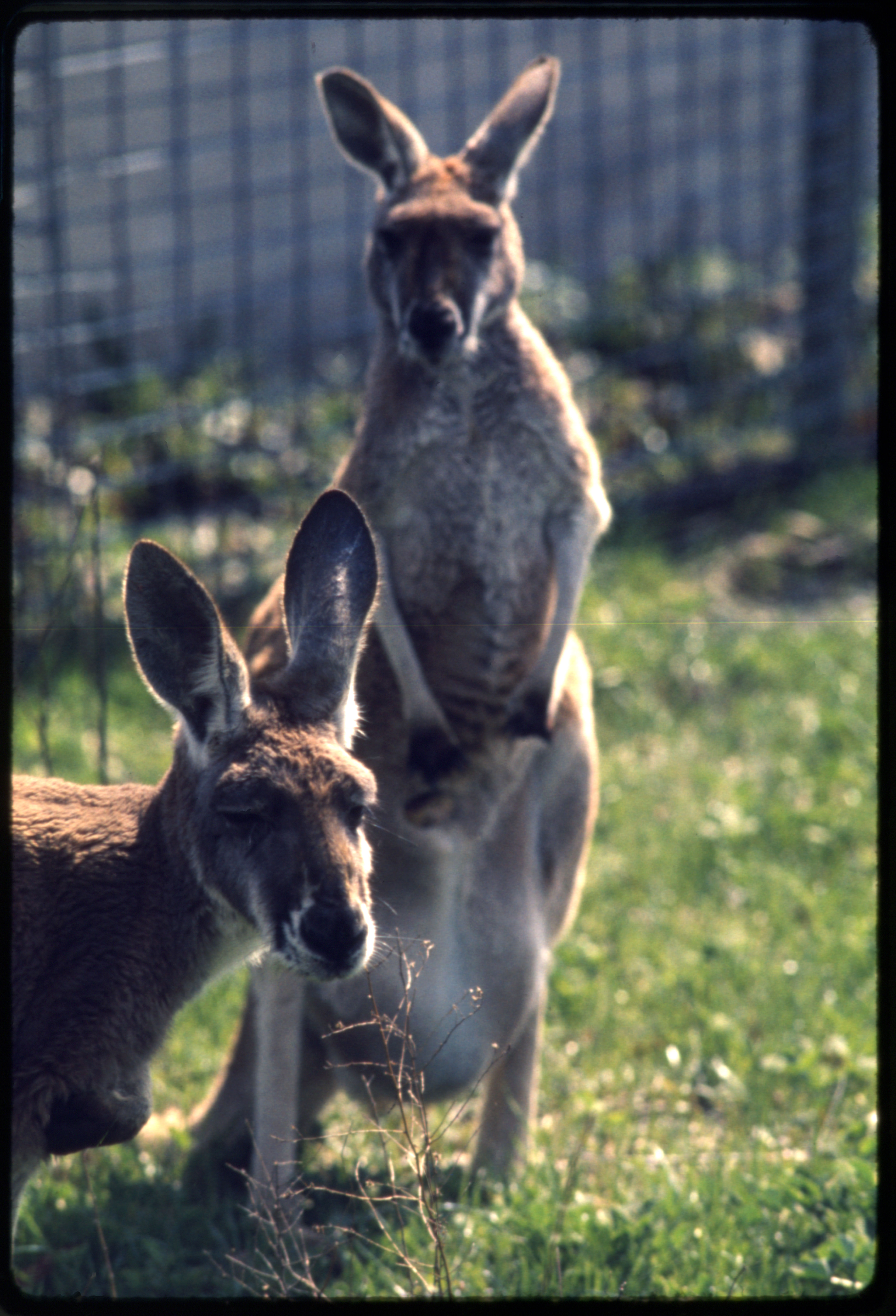 Red Kangaroos at National Zoological Park