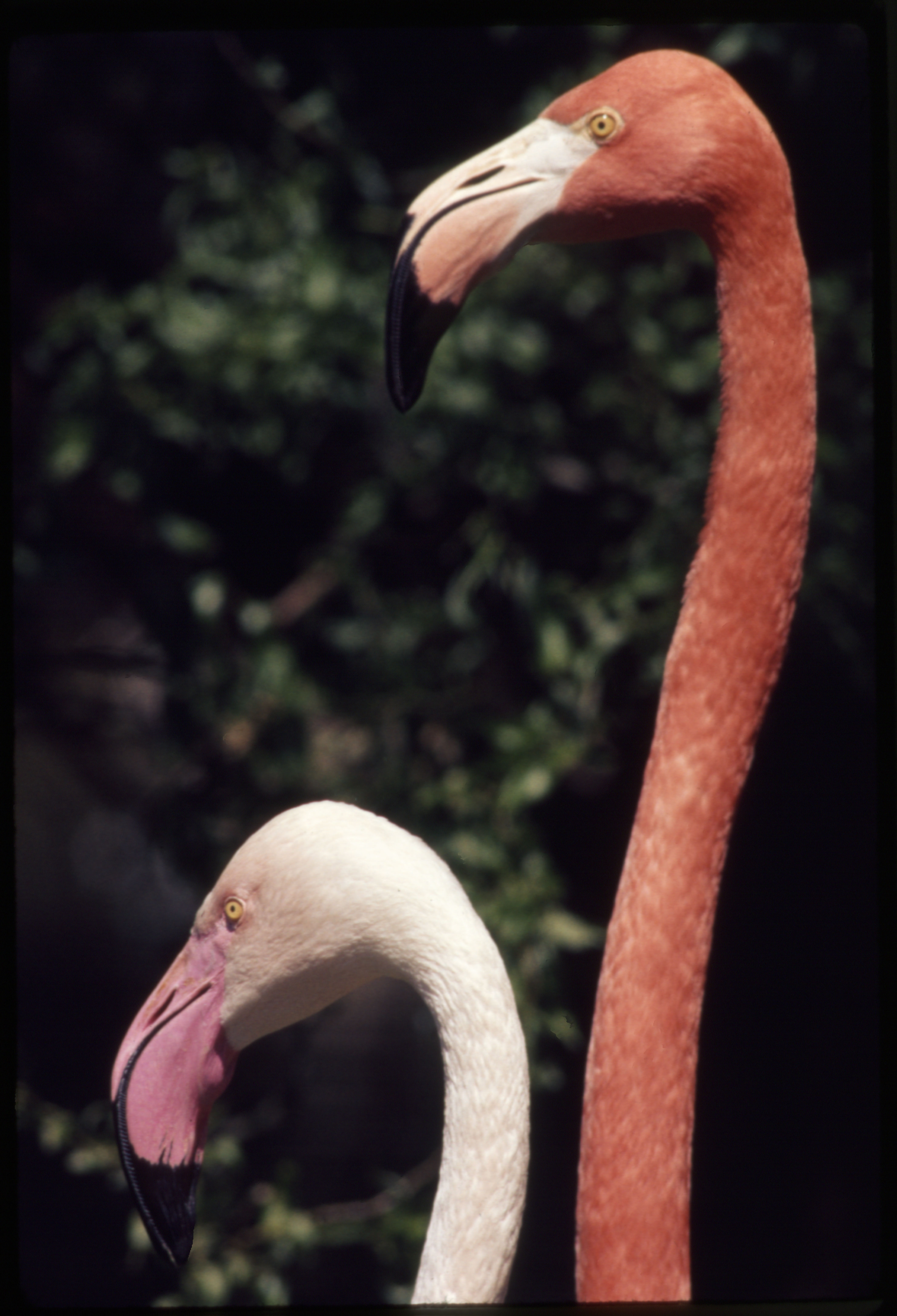 Old World Greater Flamingo and American Flamingo at National Zoological Park
