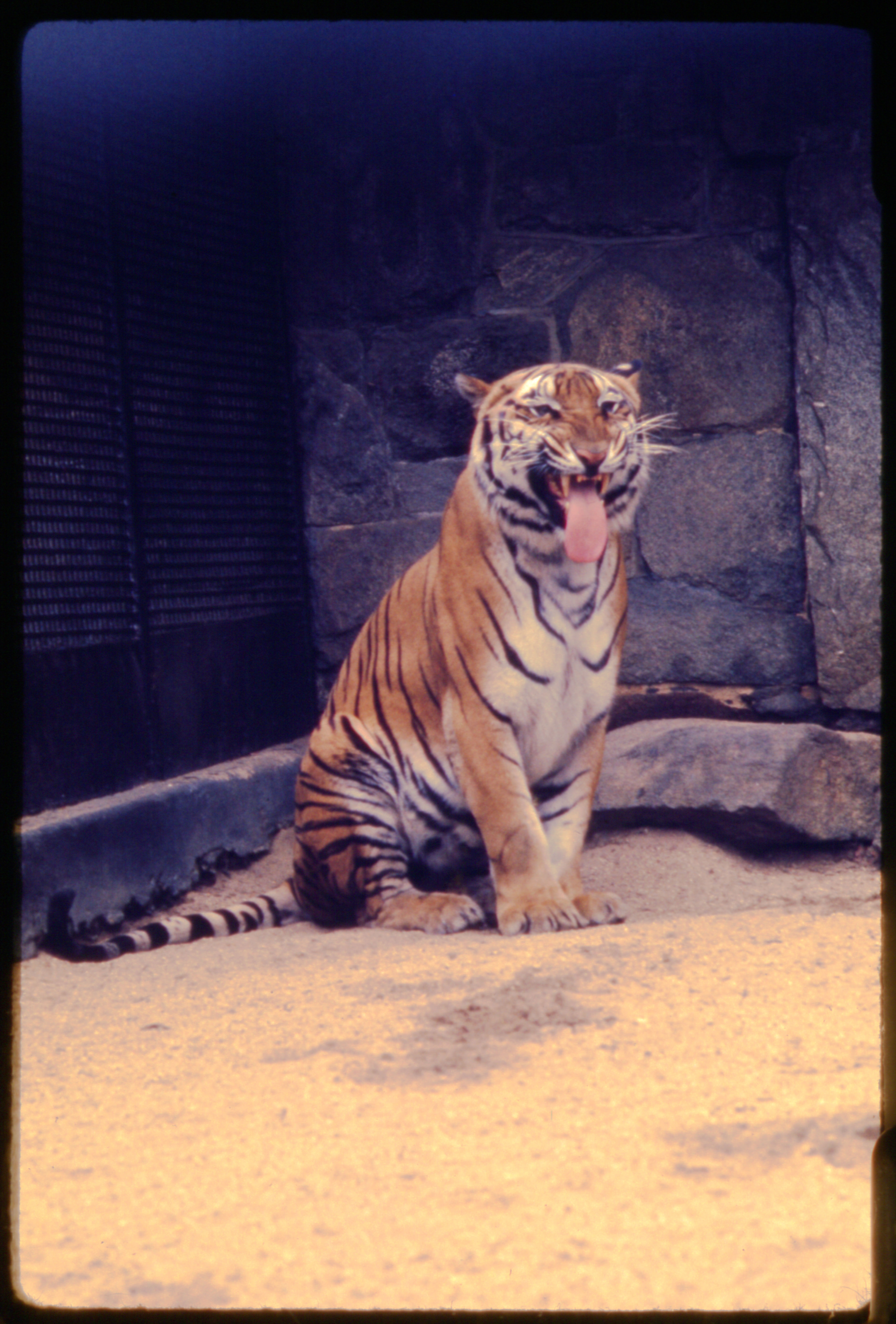 "Male Bengal Tiger ""Ramana"" at National Zoological Park"