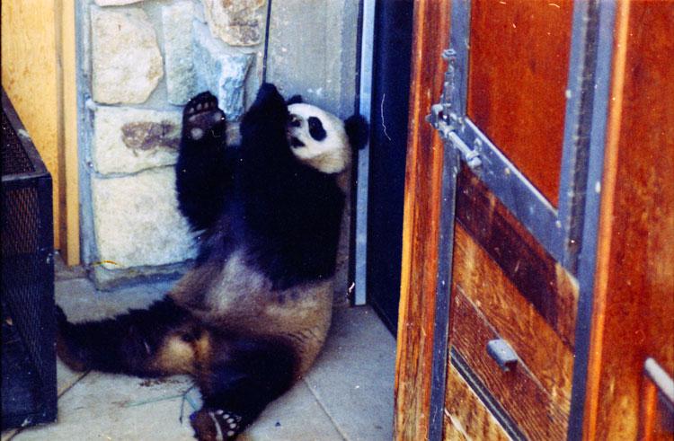 Giant Panda Ling-Ling at National Zoo.