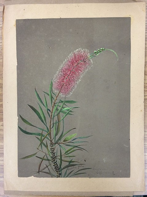 Color image of a watercolor painting of Callistemon spp.