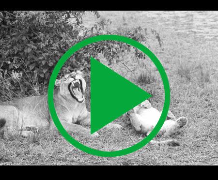 A female lion with cubs, Virunga National Park, Congo (Democratic Republic), 1970, by Eliot Elisofon