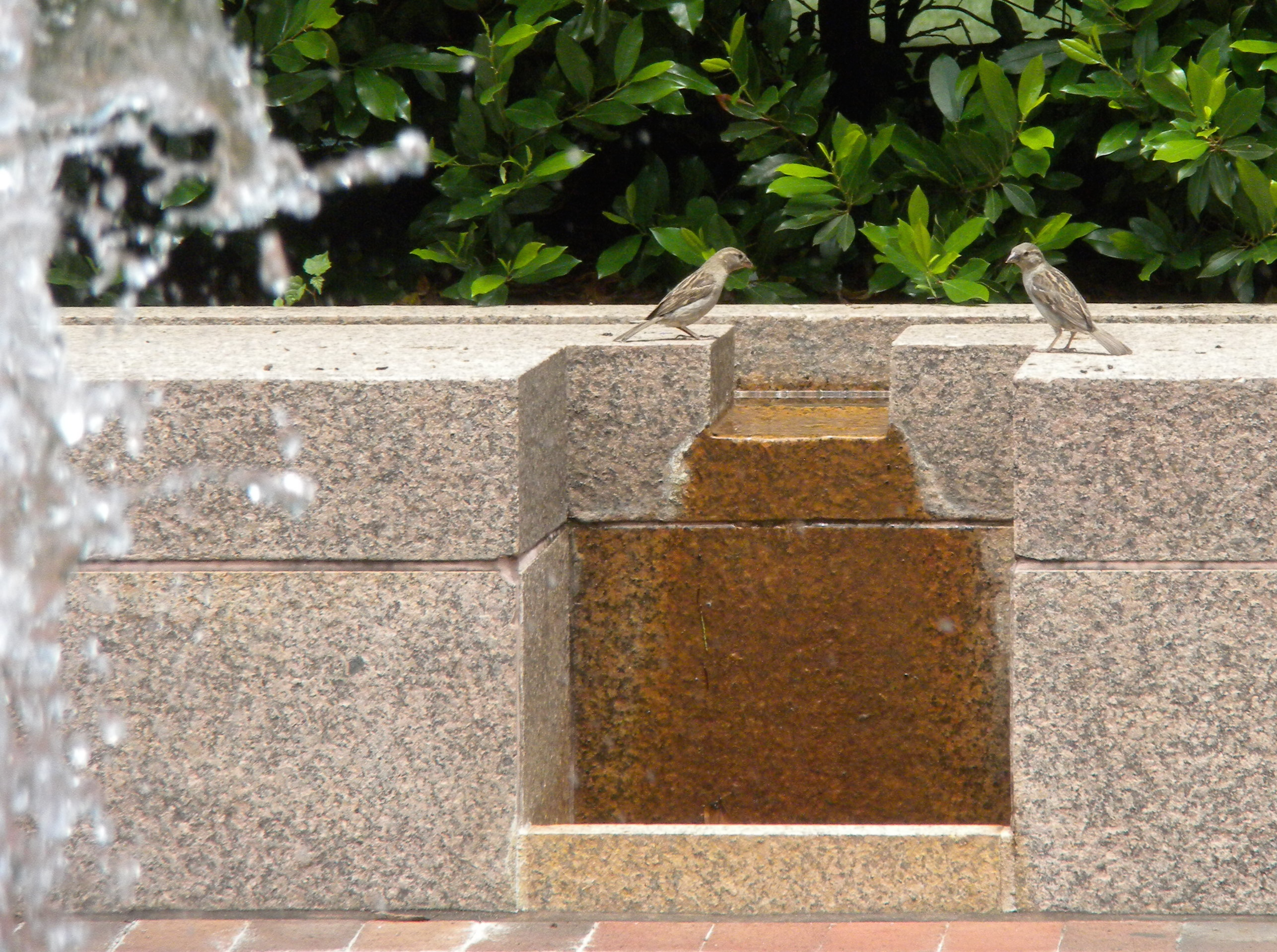 Female House Sparrows on Fountain Ledge.